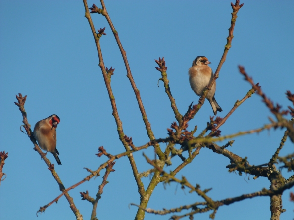 Goldfinches against a Cyan Sky