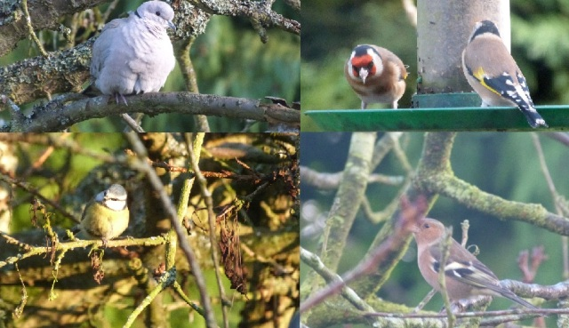 Collared Dove, Goldfinches, Blue Tit & Chaffinch