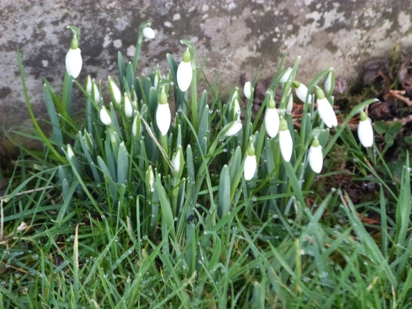 Snowdrops in Fresh Pastures