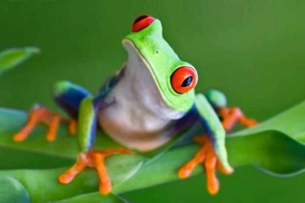 Red-eyed tree frog.Credit: ScienceDaily.com