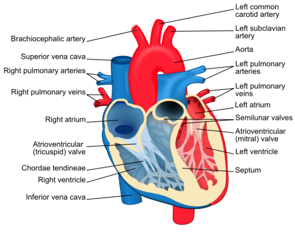Human Heart(Image credit: Wikimedia)