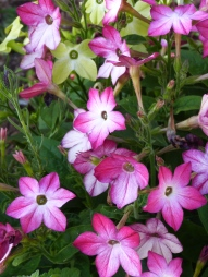 Tobbaco flowers