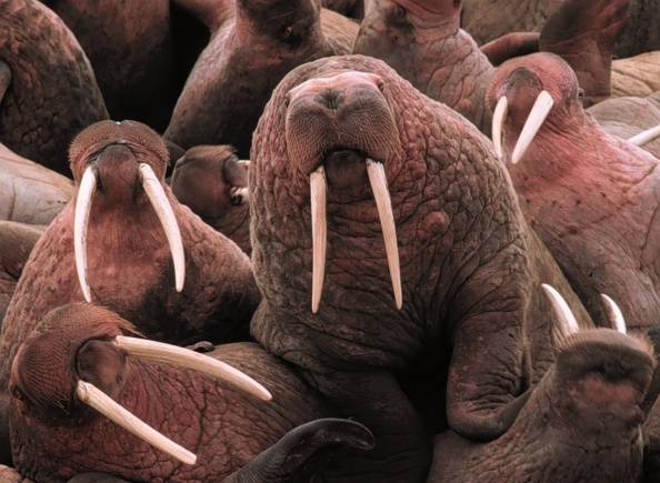 Walrus colony - see how difficult it is to squeeze a thought between them? Image credit: Wikipedia