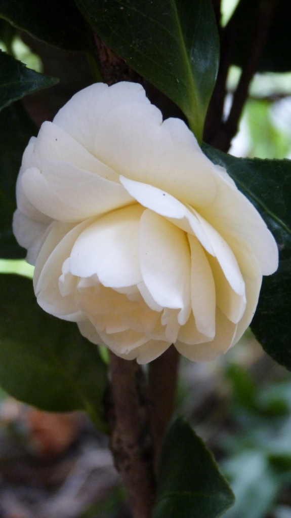 The camellia - Dignity, gratitude, trust and reverence.